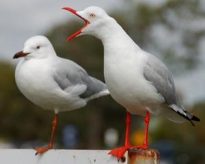 Gulls Shouting