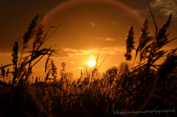 Sunset in the reeds